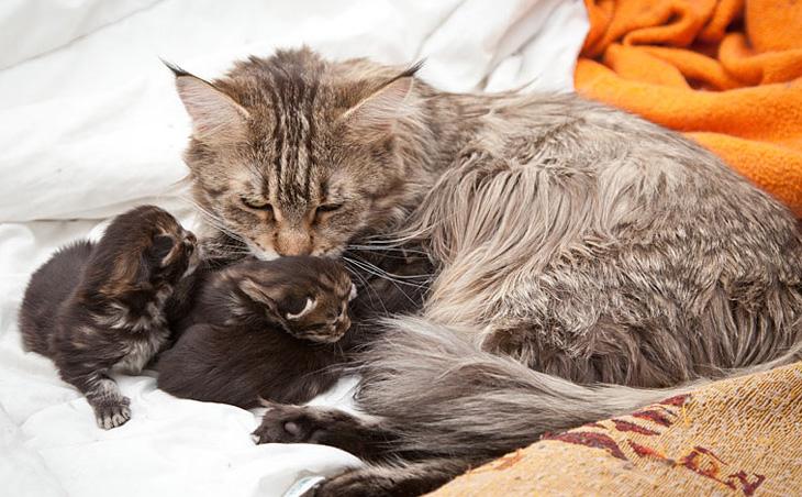 мейн кун с котятами