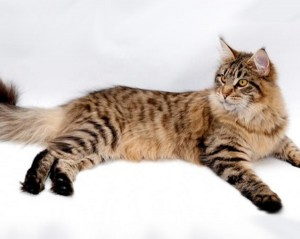 Spotted tabby (пятнистые тэбби)