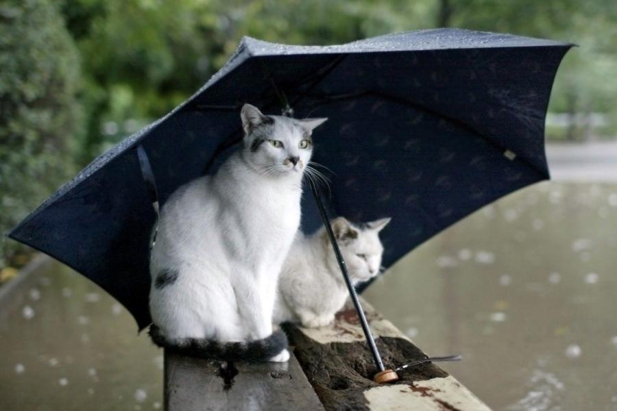 koshki-predskazateli-pogodyi