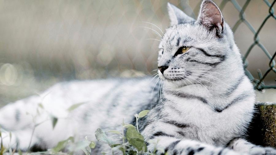 окрас крапчатой кошки