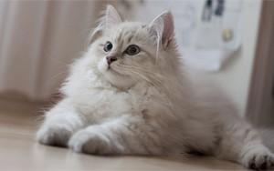 как мурлыкают кошки