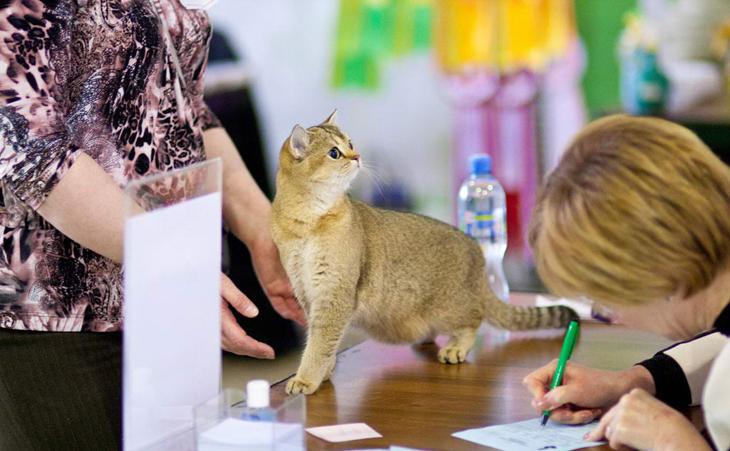 Кошка на выставке у эксперта