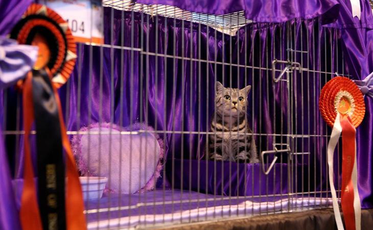 Кошка на выставке The Supreme Cat Show