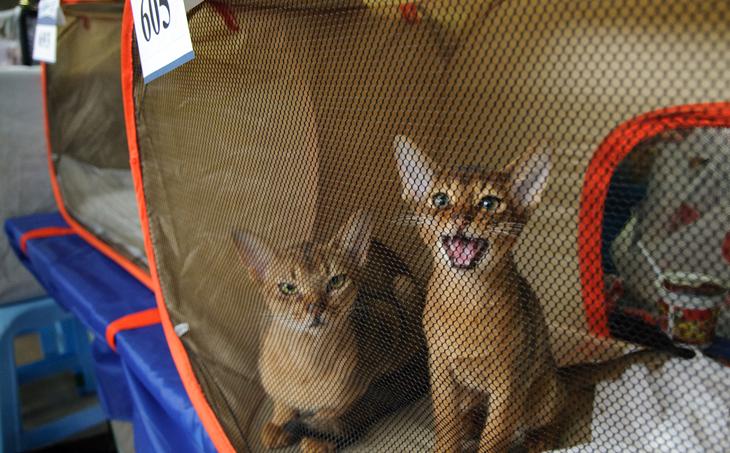 Кошки на выставке в Москве