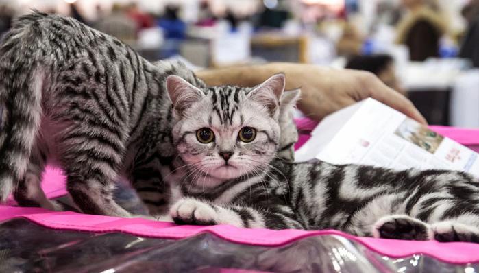 Кошка на выставке «Гран-при Royal Canin»