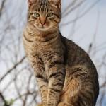 Калифорнийская сияющая кошка 1