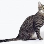 Калифорнийская сияющая кошка порода
