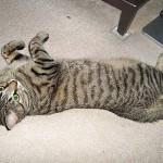 Калифорнийская сияющая кошка - 10