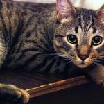 Калифорнийская сияющая кошка - 9
