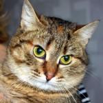 Калифорнийская сияющая кошка - 7