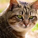 Калифорнийская сияющая кошка - 6