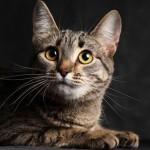 Калифорнийская сияющая кошка 5
