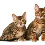 Калифорнийские сияющие котята