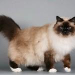 Бирманская кошка шоколадного окраса