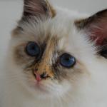 бирманская кошка черепахового окраса