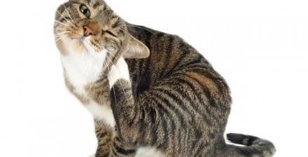 Ушной клещ у кошек симптомы лечение и профилактика