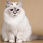 Бирманская кошка серо голубого окраса с полосками