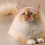 Бирманская кошка красного окраса