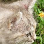 Нотоэдроз у котенка