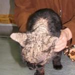 Нотоэдроз у кота запущенный