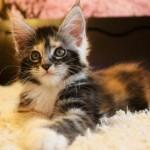 енотовый котенок