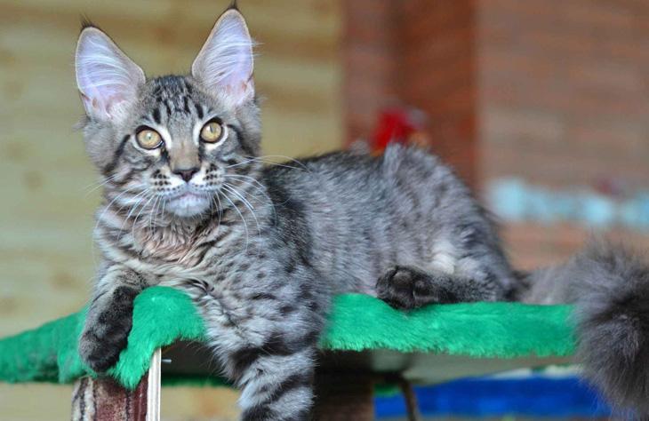 котенок енотовой кошки