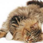Кот породы мейн кун с белыми сапожками