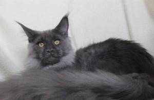 Кот менй кун окраса голубой дым