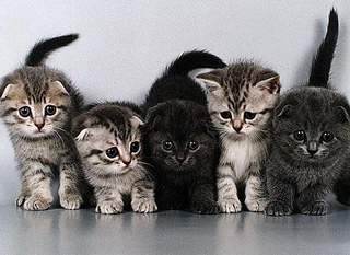Как назвать породистого котенка