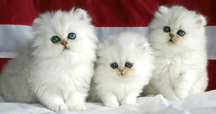 persidskie-kotjata