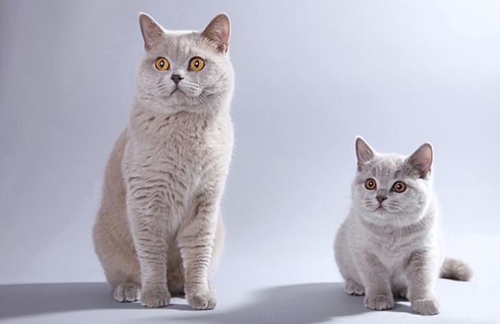 разведение кошек британок