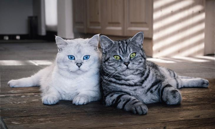 две британские кошки