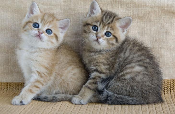 британские котики