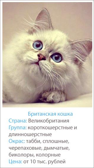 карточка британской породы кошек