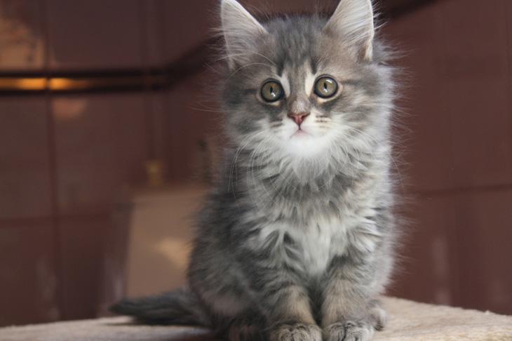 Как назвать дымчатого котенка