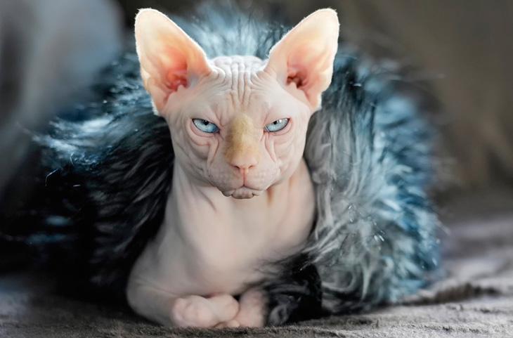 Как назвать лысого котенка