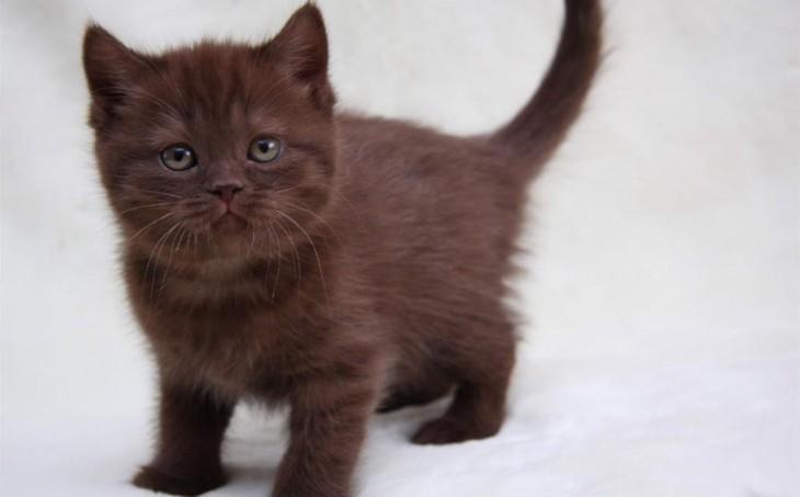 Как назвать шоколадного котенка