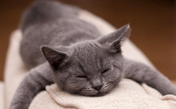 британская короткошерстная кошка уход