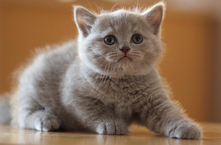 много ли шерсти от британских кошек