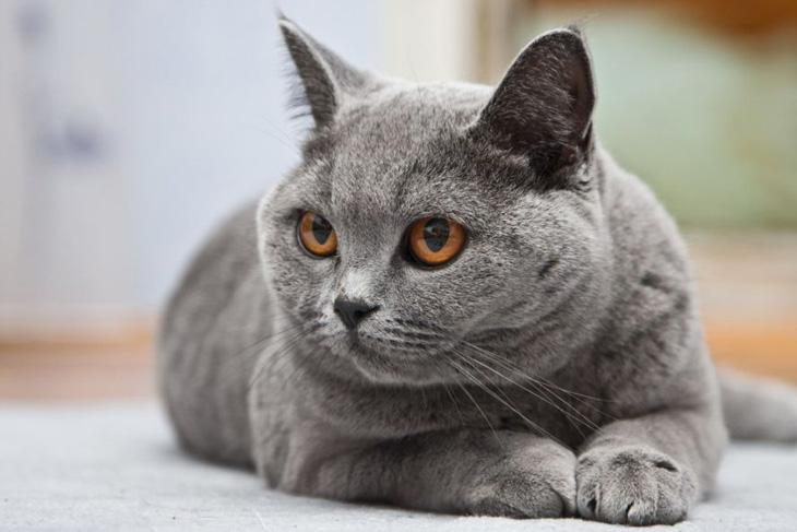 Британская кошка: фото, цена, где купить