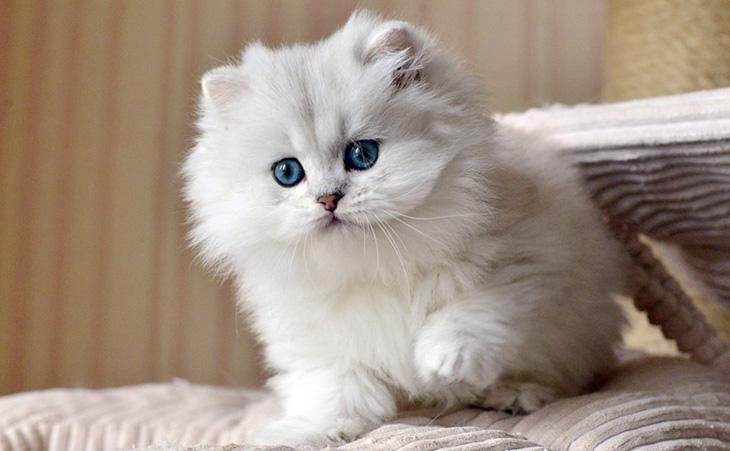 Длинношерстный британский кот
