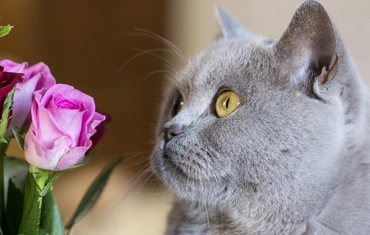 Характер британских короткошерстных котов