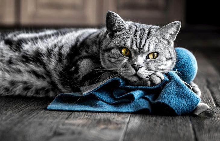как купать кота британца