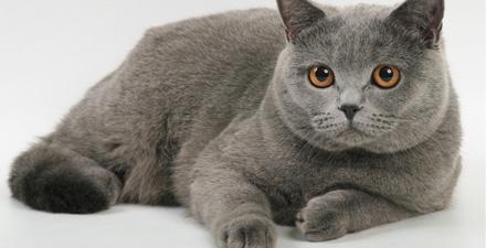 Британская кошка какая шерсть thumbnail