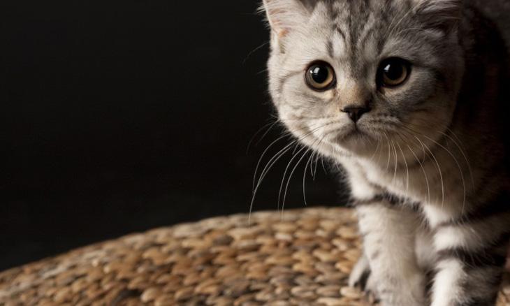 история возникновения британской кошки