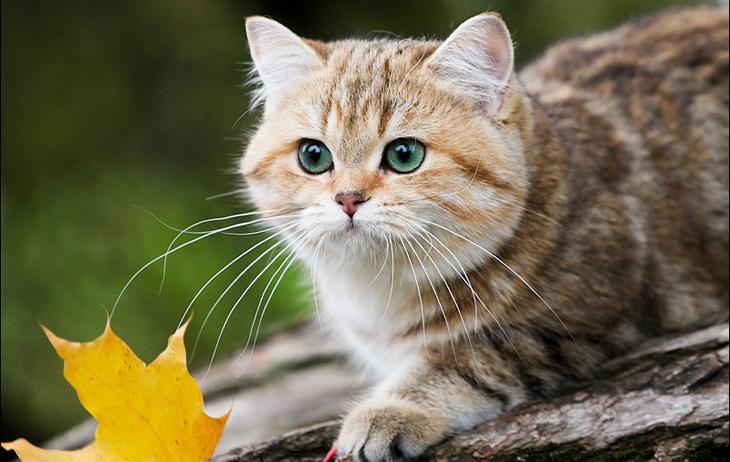 Британская кошка ловит мышей