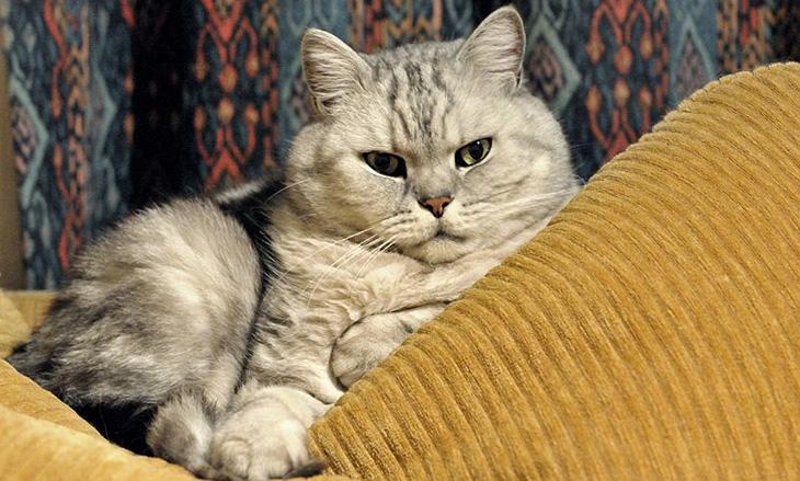 Британская короткошерстная кошка: фото породы