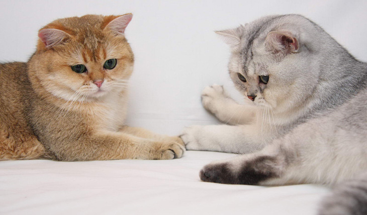 Как выглядят британские котики