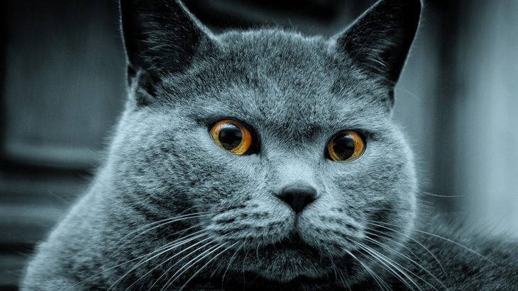 Когда начинается первая течка у британских кошек Советы владельцам если начинается течка у британских кошек