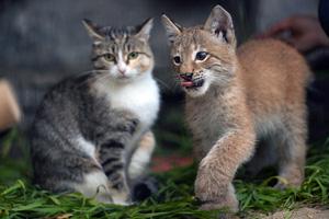 Рысь Ника и кошка